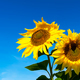 Two yellow sunflowers over blue sky, copy space - PhotoDune Item for Sale