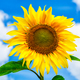Healthy eating concept with sunflower over blue sky - PhotoDune Item for Sale