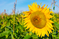 Summer agricultural field with yellow sunflower - PhotoDune Item for Sale