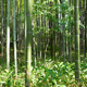Bamboo forest in Japan - PhotoDune Item for Sale