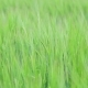 Wheat Field During Wind - VideoHive Item for Sale
