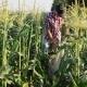 Farmer Harvesting Corn at Field - VideoHive Item for Sale