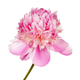 Pink peony flower - PhotoDune Item for Sale