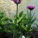 Motley pink tulip - PhotoDune Item for Sale