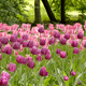 Colorful lilac and rosy tulips flowerbed - PhotoDune Item for Sale