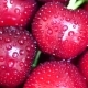 Group of Ripe Juicy Dark Red Cherry with Drops of Water - VideoHive Item for Sale