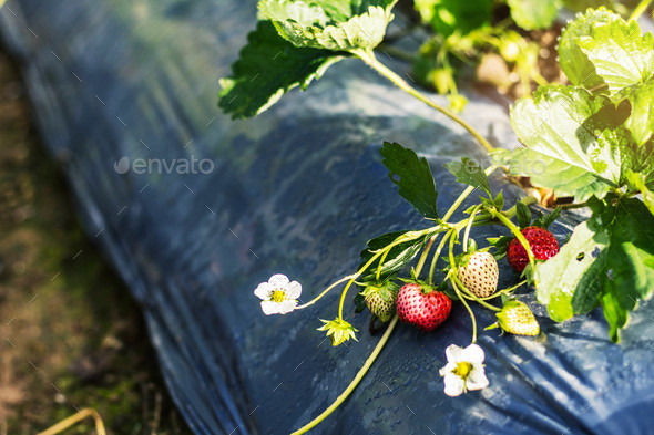 berries on a plantation - Stock Photo - Images
