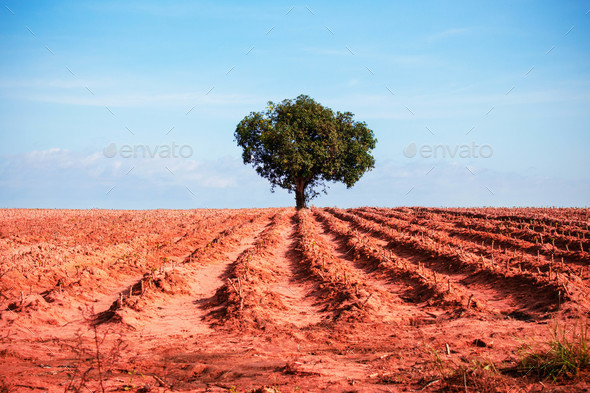 Mango tree in the middle of acres of cassava - Stock Photo - Images