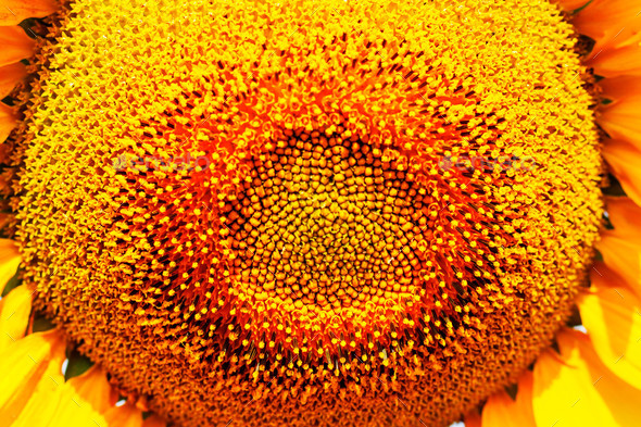 beautiful sunflower of pollen - Stock Photo - Images