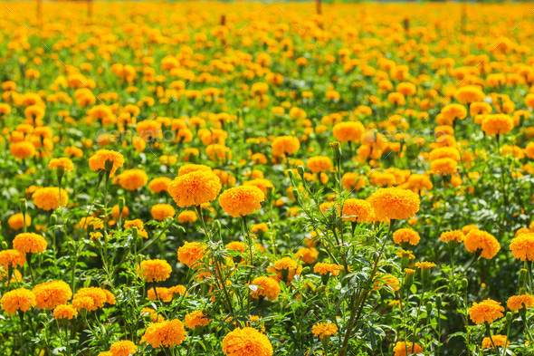 Marigold of the colorful - Stock Photo - Images