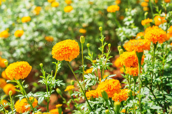 marigold in a plantation - Stock Photo - Images