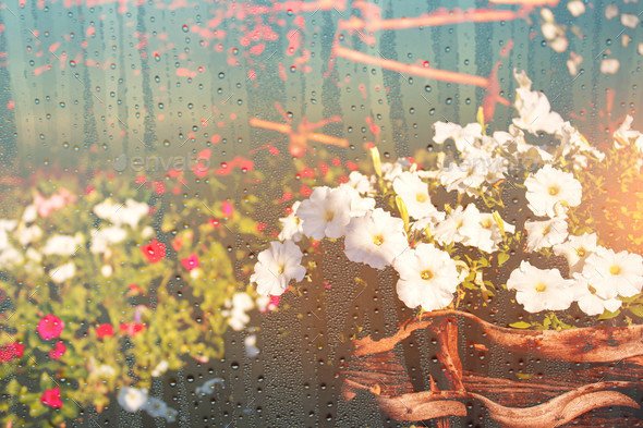 Potted plant flowers with water droplets on glass - Stock Photo - Images