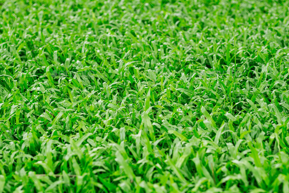 Green grass in nature - Stock Photo - Images