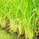 leaves of rice in field - PhotoDune Item for Sale