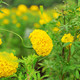 Marigold with green nature - PhotoDune Item for Sale