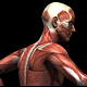 Medical Muscle Anatomy - Walk And Run (4-Pack) - VideoHive Item for Sale
