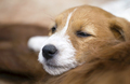 Dog love - sleepy pet jack russell terrier puppy - PhotoDune Item for Sale