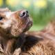 Old Irish Setter dog portrait - PhotoDune Item for Sale