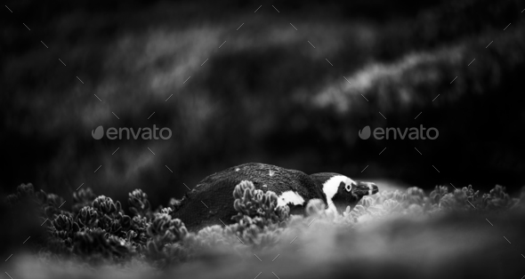 Shy African Penguin Black and White - Stock Photo - Images