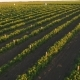 Green Rows of Strawberry Bushes From the Top - VideoHive Item for Sale