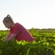 Young Girl Picking Strawberries at the Field at Sunset - VideoHive Item for Sale