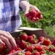 Girl Picking Strawberries in Hand - VideoHive Item for Sale