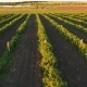 Strawberry Plantation at the Sunset From Flying Drone - VideoHive Item for Sale