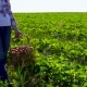 Young Woman Carrying Wicker Basket Full of Strawberries at Green Field - VideoHive Item for Sale