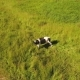 Cow at Green Meadow Look at Flying Drone - VideoHive Item for Sale