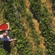 Two Girls Picking Strawberries Into a Boxes at the Field, Drone View - VideoHive Item for Sale
