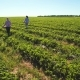 Two Young Girls Are Carrying Boxes with Strawberries at the Field - VideoHive Item for Sale