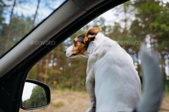 Funny dog Jack Russell Terrier looks out of the car window. Travel on a Sunny summer day. - Stock Photo - Images