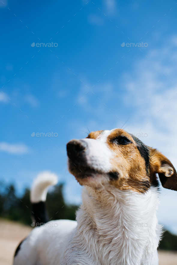 Funny dog Jack Russell Terrier on a sandy beach looking into the distance. Bottom view. - Stock Photo - Images