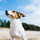 Funny dog Jack Russell Terrier on a sandy beach looking into the distance. Bottom view. - PhotoDune Item for Sale