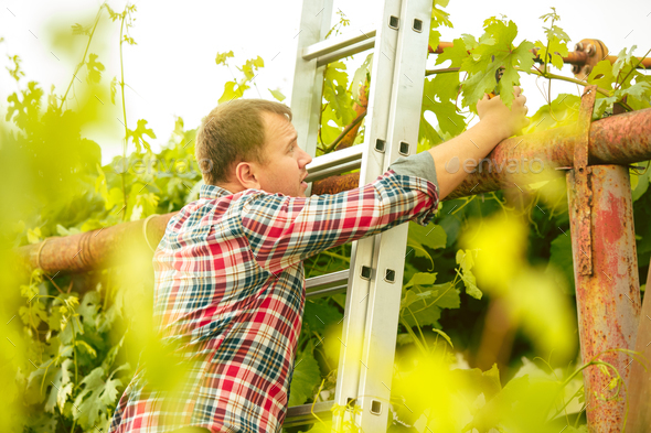 Mant prune grape brunch, work on a family farm - Stock Photo - Images
