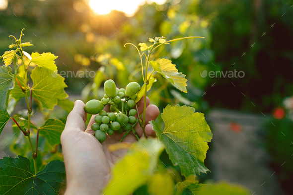 The male hand and grape brunch, work on a family farm - Stock Photo - Images