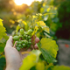 The male hand and grape brunch, work on a family farm - PhotoDune Item for Sale