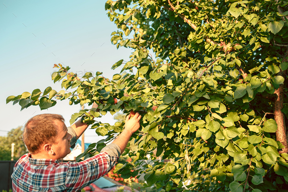 The male hand during picking apples in a garden outdoors - Stock Photo - Images