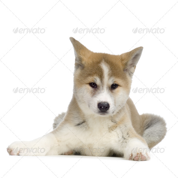 Akita Ken - Stock Photo - Images