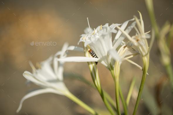 Caterpillar on sea daffodil - Stock Photo - Images