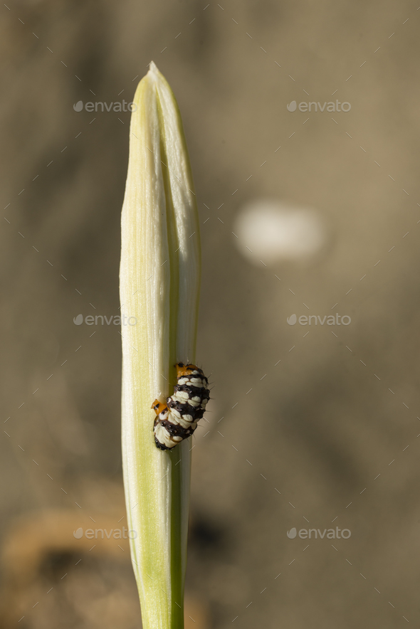 Caterpillar on sea daffodil - Stock Photo - Images