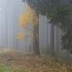 Autumn birch in coniferous forest - PhotoDune Item for Sale