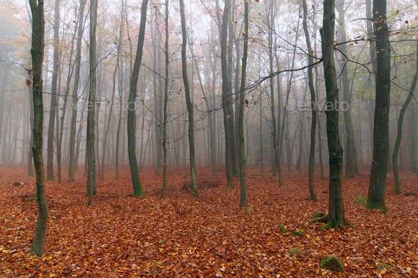 Foggy autumn beech forest - Stock Photo - Images