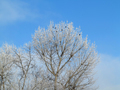 Crows on bare branches covered with frost - PhotoDune Item for Sale
