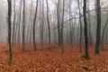 Foggy autumn beech forest - PhotoDune Item for Sale