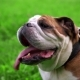 Young Female English Bulldog Cools Down on the Grass - VideoHive Item for Sale