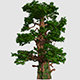 Large Coniferous Tree - VideoHive Item for Sale