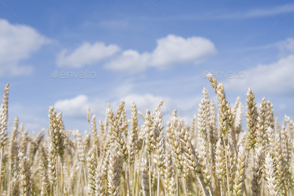 golden wheat field - Stock Photo - Images