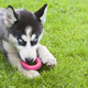 siberian husky puppy play - PhotoDune Item for Sale