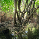 Mysterious landscape of mangrove rain forest. Sri Lanka - PhotoDune Item for Sale